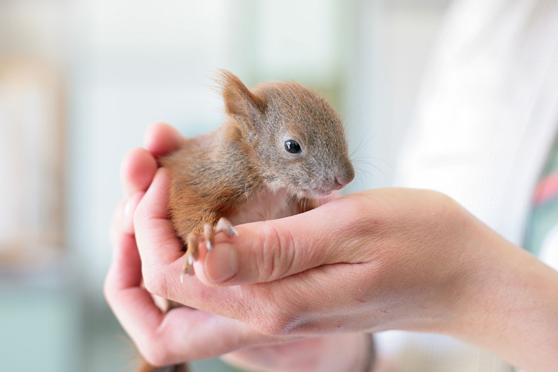 Kleine Eichhörnchen können problemlos berührt werden. Der menschliche Geruch stört Eichhörnchen-Mütter nicht