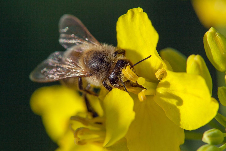 Raps sendet spezifische UV-Muster aus, auf die ihre Bestäuber - hier eine Biene - reagieren