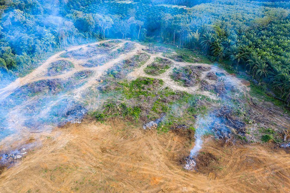 Pembayaran Cepat Sebelum Manfaat Jangka Panjang: Di daerah tropis, hutan hujan sering kali harus menyediakan ruang untuk perkebunan kelapa sawit