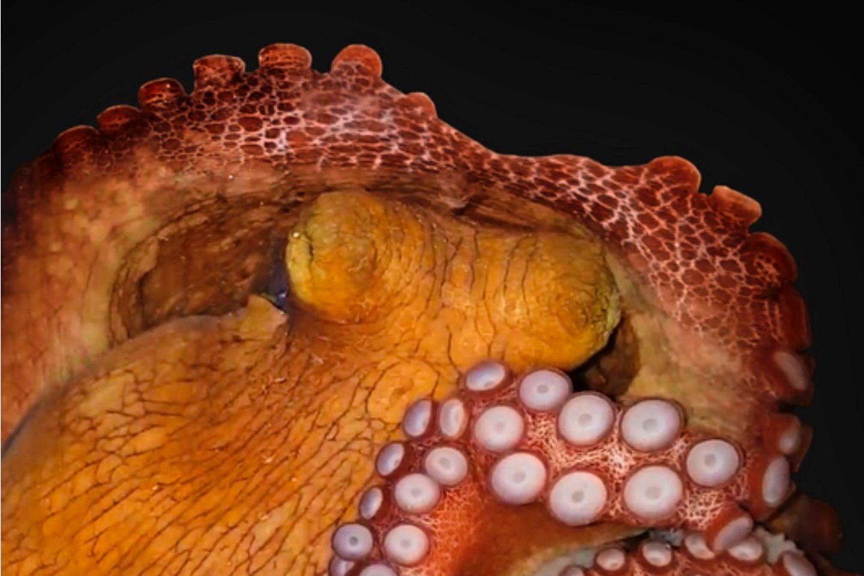 Wundersame Tierwelt: Ein schlafender Oktopus. Ob das Tier auch träumt, soll nun weiter erforscht werden