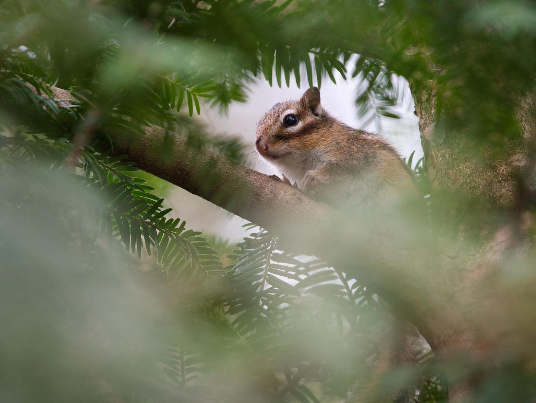 """GEO LESERFOTO: 26.03.2021 """"Ich möchte mit meiner Fotografie die Vielfalt und Schönheit der Natur zeigen. Auf der Suche nach etwas anderen Fotomotiven bin ich durch einen Tipp von einem anderen Fotografen auf die Streifenhörnchen im Luitpoldpark in Ingolstadt gestoßen. Die dort frei und wild lebenden asiatischen Streifenhörnchen sind vor vielen Jahren aus der Gefangenschaft entflohen.""""  Mehr Fotos von Tim Kirchhofer"""