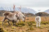 Rentier-Familie in Spitzbergen
