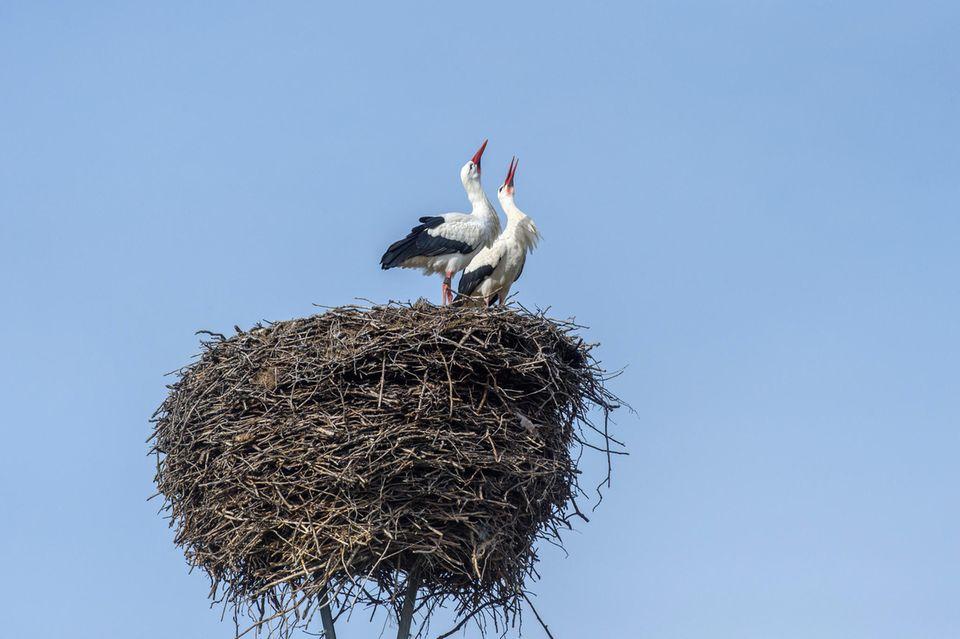 In Loburg in Sachsen-Anhalt klappern zwei Weißstörchein mit den Schnäbeln aus ihrem Nest - ein Naturspektakel, das in Deutschland wieder häufiger zu beobachten ist