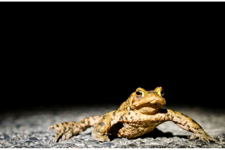 """29.03.2021      """"Diese Erdkröte wurde bei einer Sammelaktion auf der Straße gefunden und sicher zu ihrem Laichgewässer gebracht. Dieses Foto zeigt sowohl die Eingriffe in die Natur als auch die daraus resultierenden Probleme des menschlichen Handelns für die Natur und ihre Bewohner.""""  Kamera:Nikon Z6 / 24-70mm  Mehr Fotos vonMaren Szymiczek"""