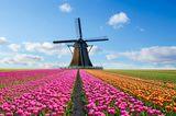 Tulpenfeld mit Windmühle in den Niederlanden