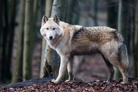 Wolfshybride Raik im Alternativen Bärenpark Worbis. Der Bärenpark dient auch alsAuffangstation fürWolfshybriden