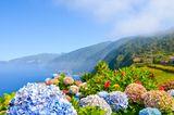 Blühende Hortensien im Frühling auf Madeira