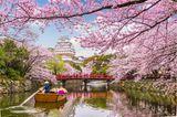 Kirschblüte in Japan mit Himeji Castle