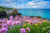 Blühende Meeresblumen an der Küste von St. Ives, Cornwall