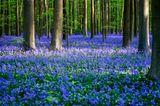 Blühender Hallerbos-Wald in Belgien im Frühling