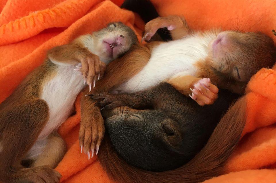 Paarungszeit: Eichhörnchen-Babys in Not: Erste Nager in Auffangstation