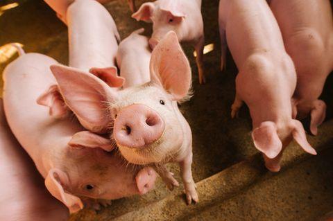 Das Bundeslandwirtschaftsministerium habe nicht geprüft, ob eine Anhebung der gesetzlichen Mindeststandards eine Alternative zu einem freiwilligen Tierwohllabel sei, kritisiert der Bundesrechnungshof