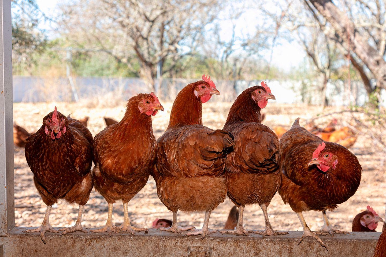 Hühner: Die wahren Osterheldinnen