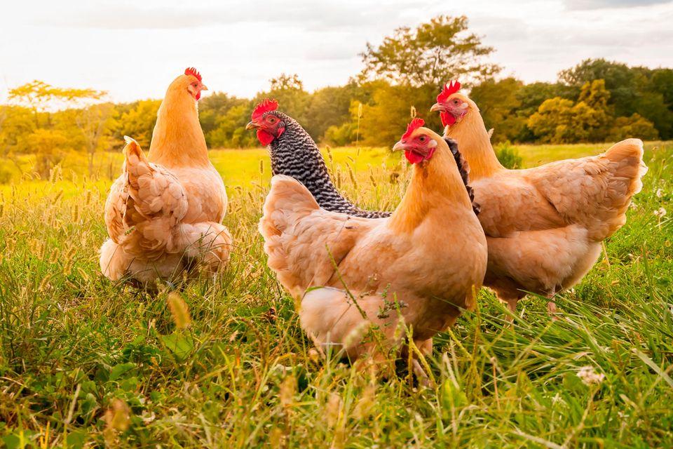 Hühner können untereinander über 100 verschiedene Gesichter unterscheiden.
