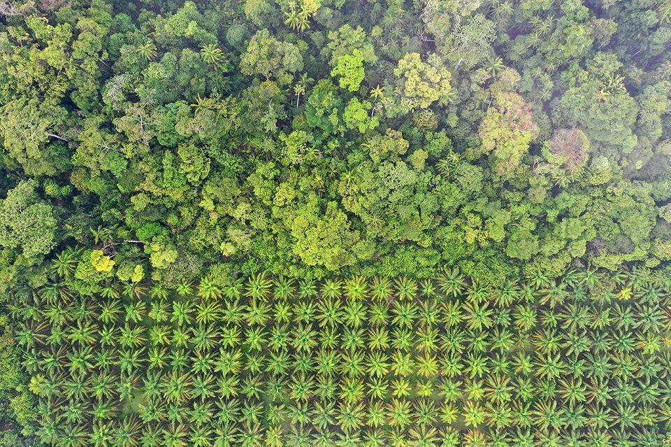 Indonesien und Malaysia konnten den Abwärtstrend bei der Rodung von Urwald - etwa für Palmölplantagen - stoppen