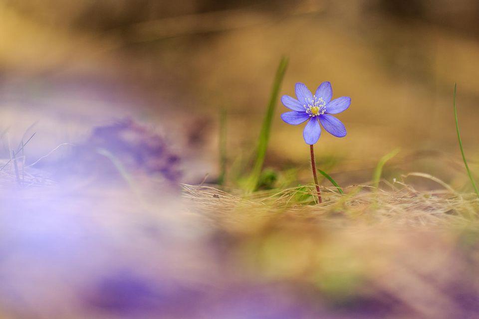 """06.04.2021      """"Dieses Bild eines Leberblümchens habe ich aufgenommen im Landschaftspark Binntal in der Schweiz.""""      Kamera:Canon EOS 5d Mark lll  Mehr Fotos vonImhof Patrick"""