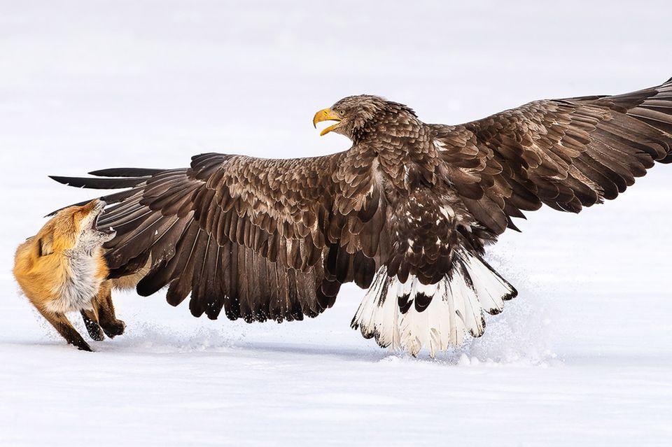 """Einen """"Flügel-Klaps"""" holte sich ein Fuchs auf der Suche nach Futter. Gegen den Weißschwanz-Seeadler kann sich das kleine Tier nicht durchsetzen. Doch die kargen Winter in den nördlichen Breiten erhöhen die Risikobereitschaft.  Eine Aufnahme von Fahad Alenezi"""
