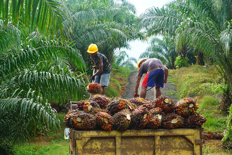 Der Anbau von Palmöl wird von Umweltorganisationen wegen seiner Umweltfolgen, aber auch wegen schlechter Arbeitsbedingungen auf den Plantagen kritisiert