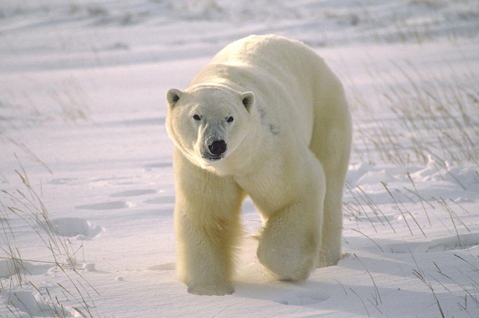 Grosser männlicher Eisbär auf arktischer Tundra