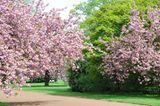 Kirschblüte im Nordpark Düsseldorf