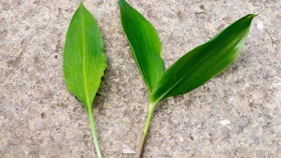 Sehen sich zum Verwechseln ähnlich: Bärlauchblätter (links) und die des Maiglöckchens (rechts)