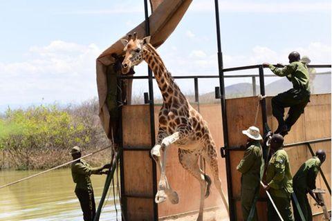 Giraffe in Kenia verlässt die Barke, um auf das Festland zu gelangen