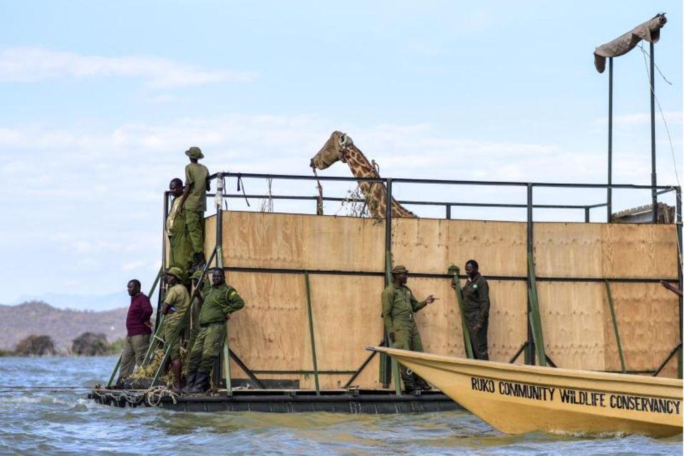 In Kenia transportieren Helfer eine Rothschildgiraffe mit dem Lastkahn, um sie von der Insel Longicharo zum Schutzgebiet auf dem Festland zu bringen
