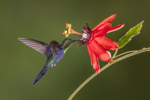 Alles an Kolibris scheint verschwenderisch, Farben, Schönheit und die Namen: eine Violettkronennymphe im Urwald von Costa Rica. Prachtvoll sind vor allem die Männchen – die Weibchen brauchen ihre Energie für die Brutpflege