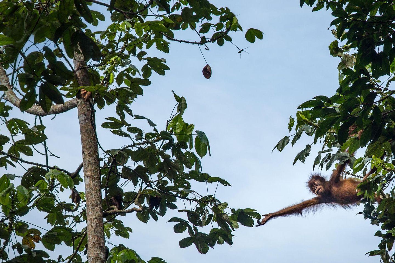 Menschenaffen: Die Hochkultur der Orang-Utans