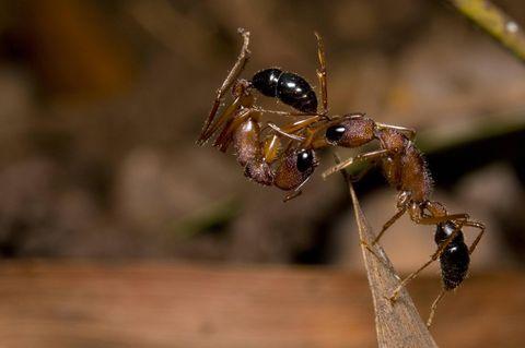Die indische Springameise Harpegnathos saltator ist eine geschickte Jägerin