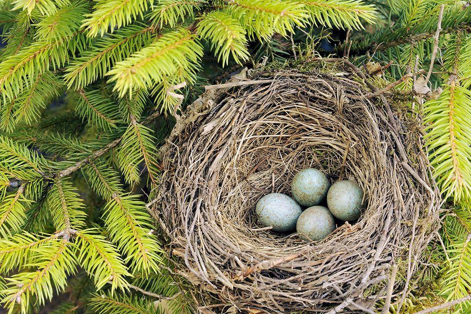 Bildquiz: Erkennen Sie, zu welchem Vogel dieses Nest gehört?