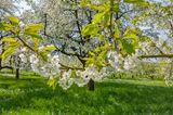 Weiß blühende Kirschbäume in der Fränkischen Schweiz
