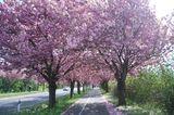 Kirschbäume auf dem Holzweg in Magdeburg