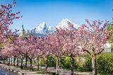 Kirschbäume im Kurgarten Berchtesgardener Land