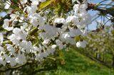 Hummel sitzt an Kirschblüte im Alten Land