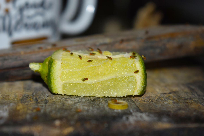 Fruchtfliegen sitzen auf einer aufgeschnittenen Zitrusfrucht