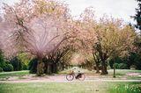 Kirschblüte im Altonaer Volkspark