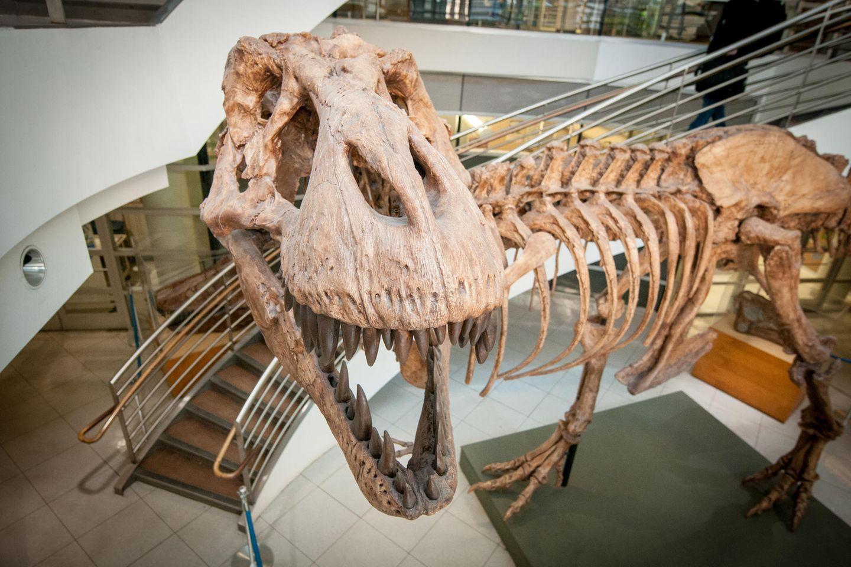 Abguss eines T-Rex-Skeletts, das im UC Museum of Paleontology an der University of California in Berkeley ausgestellt ist