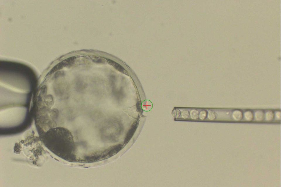 Injektion menschlicher iPS-Zellen in Schweineblastozyste