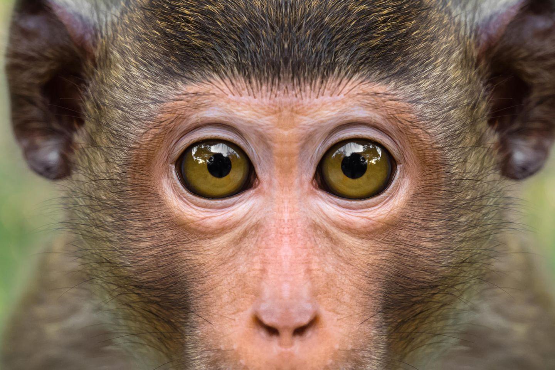 Ein Makak blickt aufmerksam in die Kamera