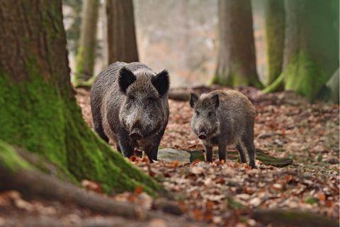 Wildschweine stehen im Wald