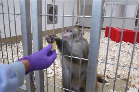 Ein Rhesusaffe in einer deutschen Forschungseinrichtung erhält von seiner Pflegerin kleine Apfelstücke. Am 24. April 2021 ist der Internationale Tag des Versuchstieres.
