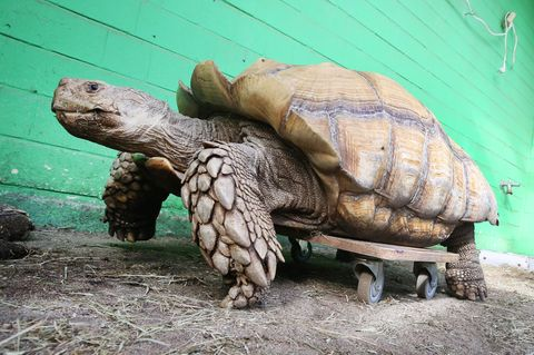 Das rund 100 Kilogramm schwere Schildkrötenmännchen Helmuth bewegt sich auf seinem Rollbrett durch das Gehege. Helmuth hat Probleme mit seiner Schulter, die ihm das Laufen schwer machen - durch das Rollbrett kann sich das schwere Tier wesentlich leichter bewegen