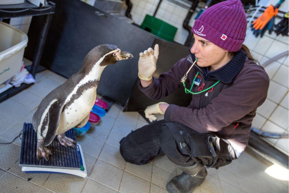 Biologin Helen Rößler wiegt einen Humboldtpinguin