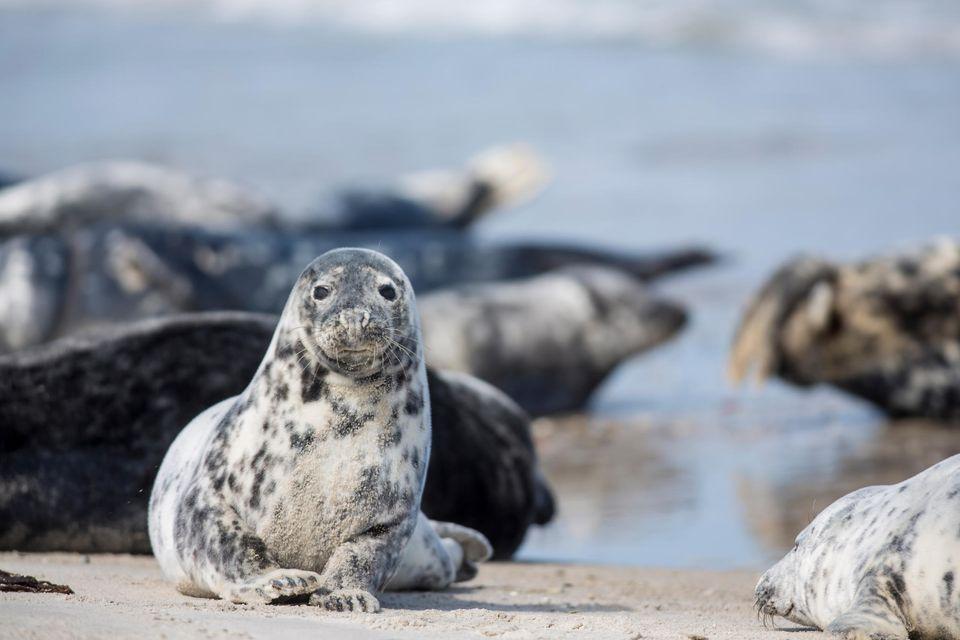 Seehunde auf der Helgoländer Düne