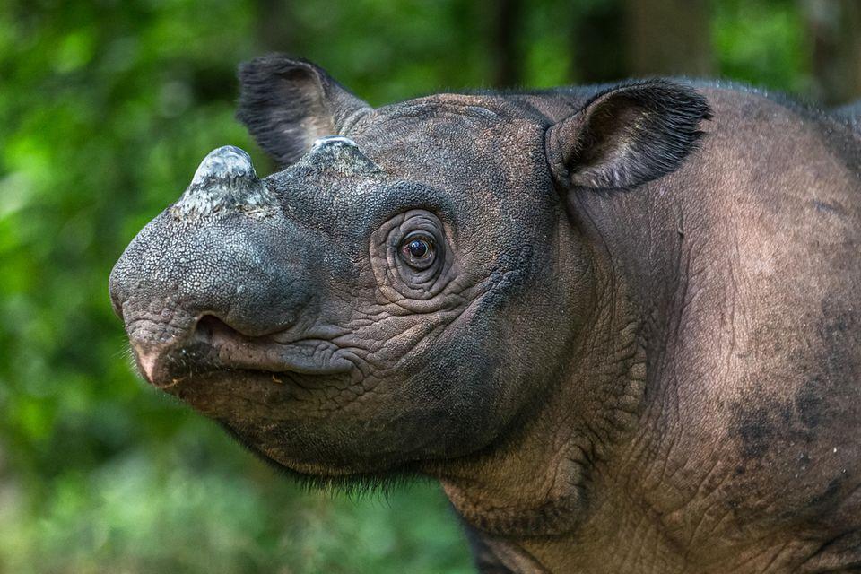 Sumatra-Nashorn auf der Insel Sumatra