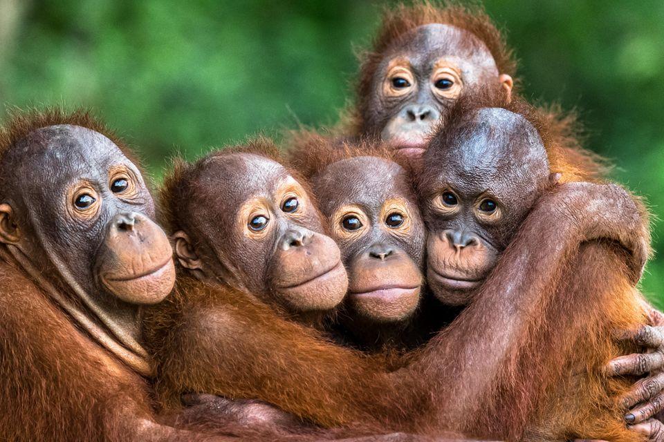 Orang-Utans in einer Auffanggstation auf Borneo