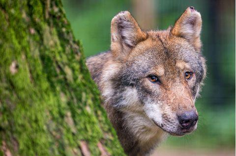 Seit dem Jahr 2000 erobern Wölfe Deutschland