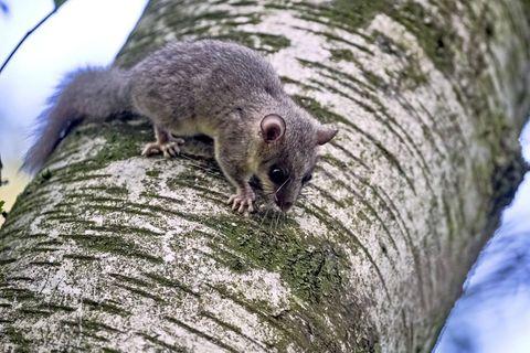 Siebenschläfer sitzt auf einem Baum