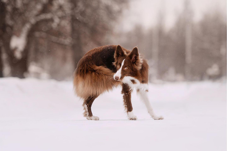 Border Collie jagt seinen Schwanz